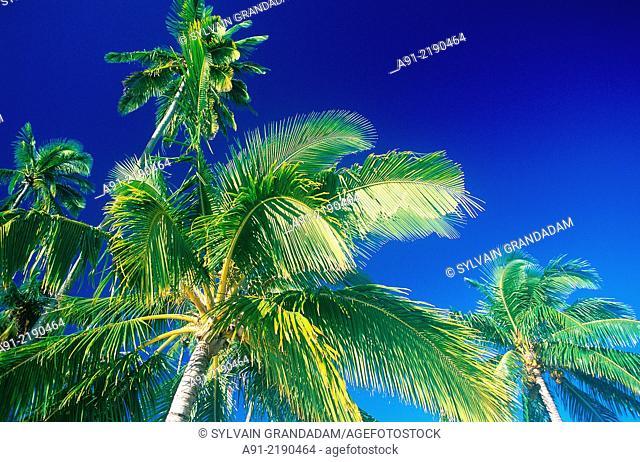 FRENCH POLYNESIA.PALMES AGAINST BLUE SKY