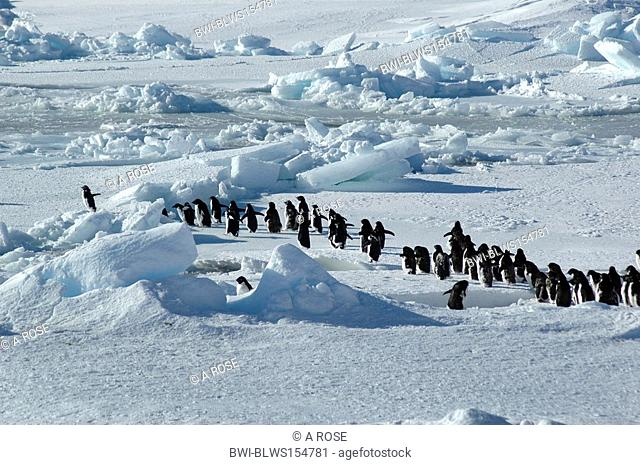 adelie penguin Pygoscelis adeliae, group of about forty Antarctic Adelie penguins is led by one enthusiastic penguin on the left, Antarctica