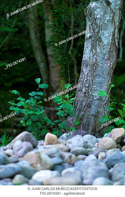 ALDER - ALISO (Alnus glutinosa), the common alder, black alder, European alder or just alder, is a species of tree in the family Betulaceae