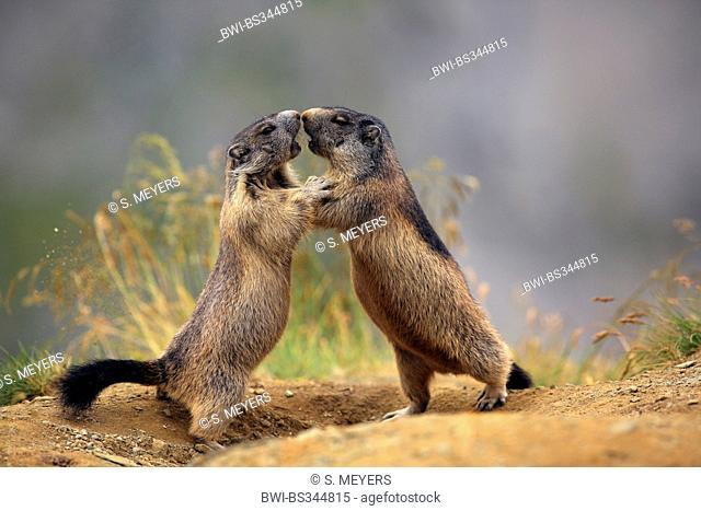 alpine marmot (Marmota marmota), playing young animals , Austria, Hohe Tauern National Park