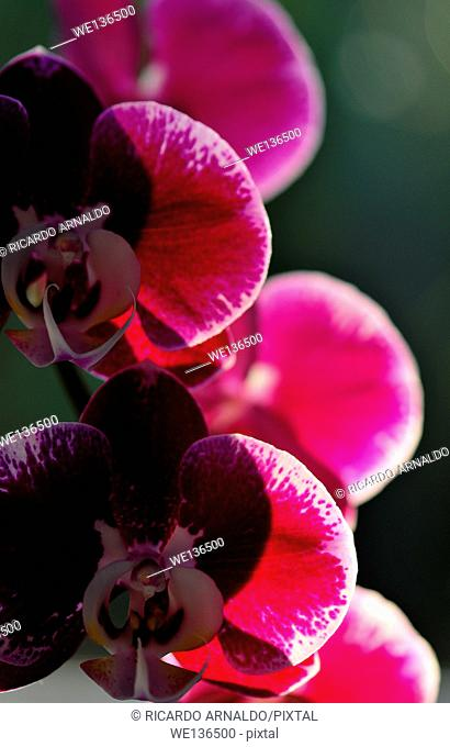 Back lit pink orchids