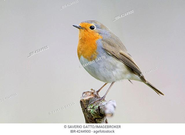 European Robin (Erithacus rubecula), perched on a branch, Campania, Italy