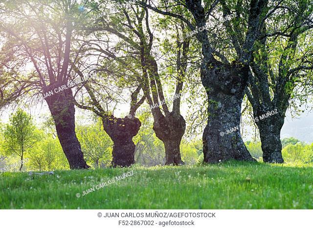 "Fraxinus excelsior â. "" known as the ash, or European ash or common ash, Herrería Forest, San Lorenzo de El Escorial, Madrid, Spain, Europe"