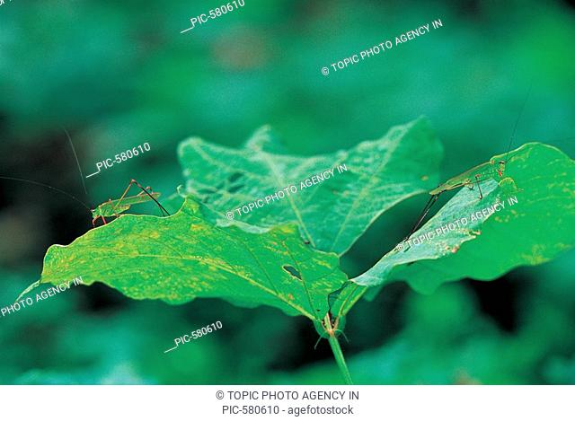 GrasshopperPhaneroptera falcata,Korea