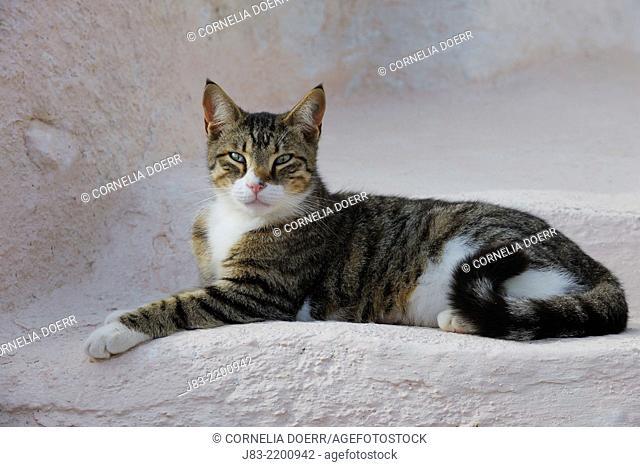 Grey-White tabby Cat lying on stairs, Oia village, Santorini, Cyclades Island, Greek Islands, Greece, Europe
