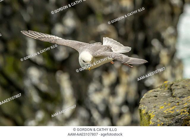 Northern fulmar (Fulmarus glacialis), Iceland