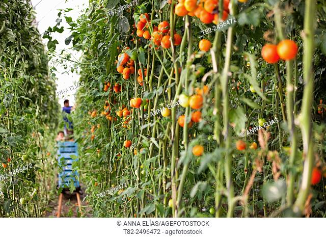 Harvesting organic tomatoes in greenhouse, El Ejido, Almeria, Andalucia, Spain, Europe