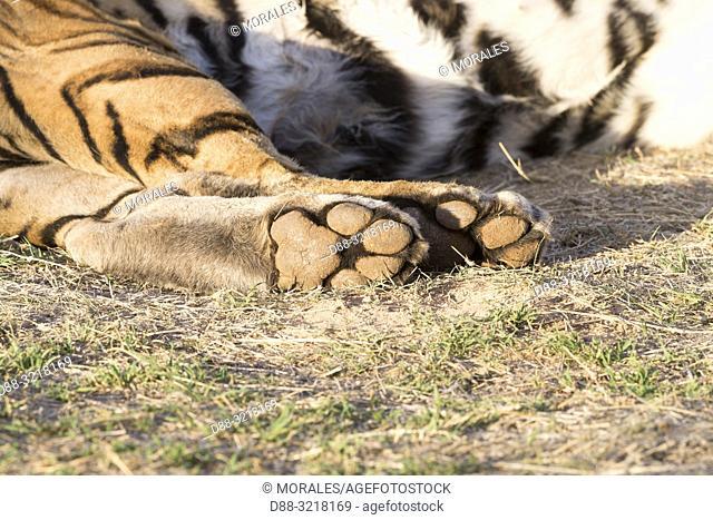 Afrique du Sud, Réserve privée, Tigre du Bengale (Panthera tigris tigris), au repos, gros plan sur les pattes / South Africa, Private reserve