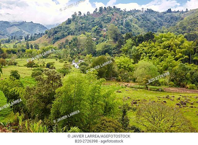 Guadua, Rio Quindio, Valle del Cocora, Salento, Quindio, Colombia