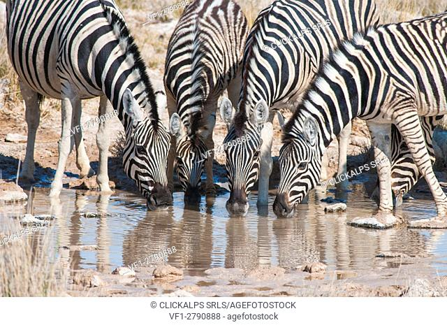 Etosha National Park, Namibia, Africa. Group of zebras