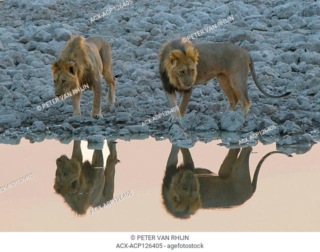 Two Lions (Panthera Leo) approaching a water hole in Etosha National Park. Namibia,Africa