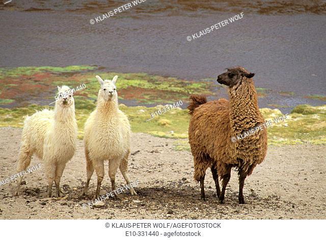 Lamas (Lama glama)  near Geyser El Tatio, northern Chile
