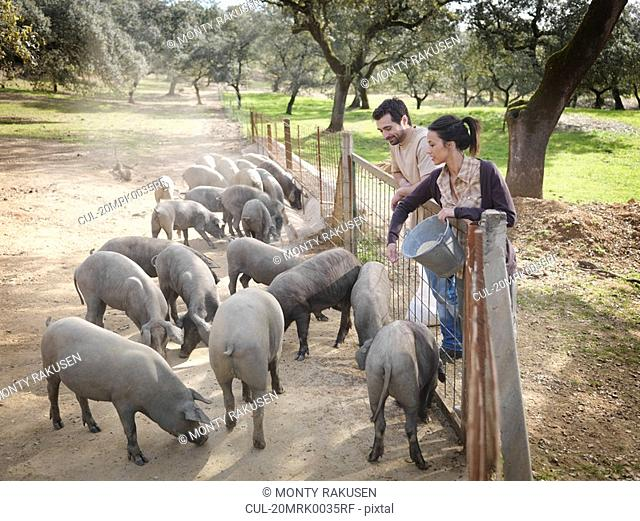 Man and woman on farm feeding pigs