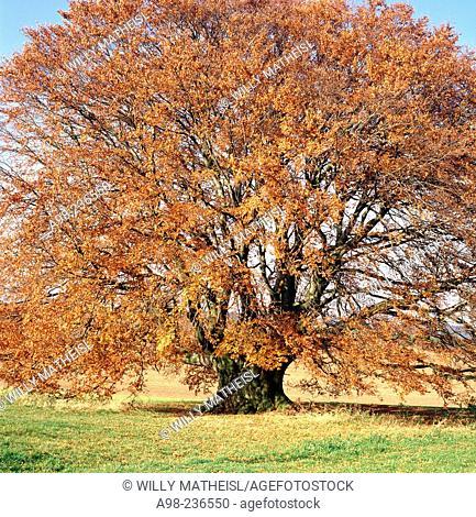 Beech (Fagus Sylvatica) in autumn. Bavaria. Germany
