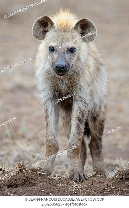 Spotted hyena (Crocuta crocuta), young male, standing on arid ground, Kruger National Park, South Africa, Africa