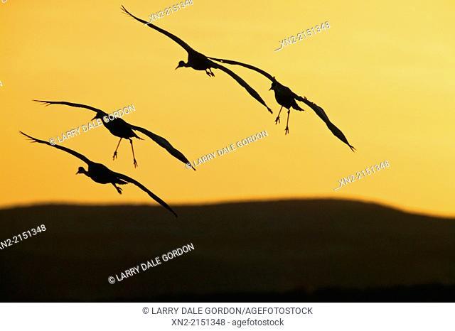 Sandhill Cranes (Grus canadensis) take flight at dawn in the Bosque del Apache National Wildlife Refuge, Socorro County, New Mexico, United States