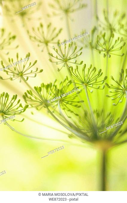 Garden Dill Herb in Bloom