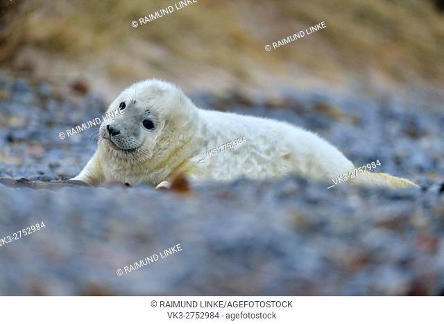 Grey Seal, Halichoerus grypus, Pup, Helgoland, Dune, North Sea, Island, Schleswig-Holstein, Germany