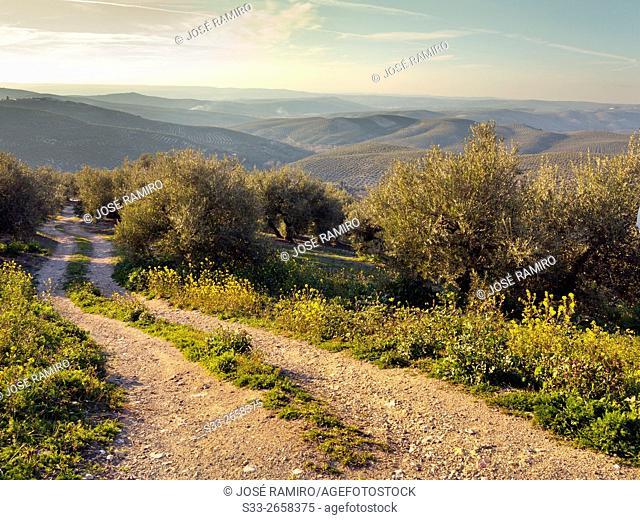 Olive tress in Cazorla. Jaén. Andalucía. Spain. Europe