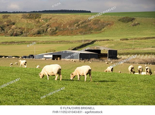 Domestic Sheep, flock grazing in pasture near barns, Dorset, England, october