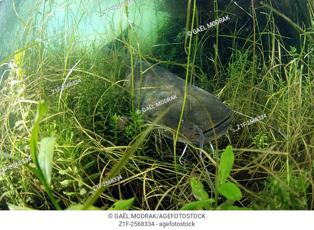 Wels catfish in a lake in France. Silurus glanis