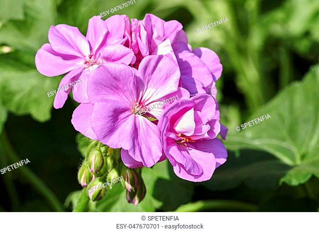 geranium in bloom in the garden