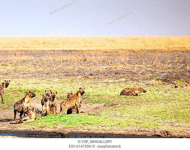 hyena in Tanzania national park