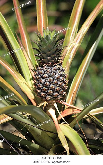 Pineapple, Ananas comosus, Nosy Komba, Madagascar, fruit