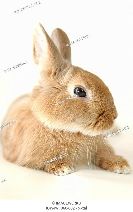 Close-up of a brown rabbit against white background