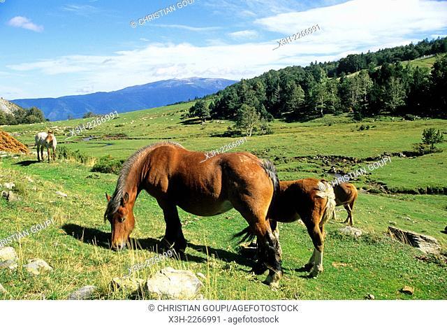 horses at Pailheres Pass, Donezan region, Ariege department, Midi-Pyrenees region, France, Europe