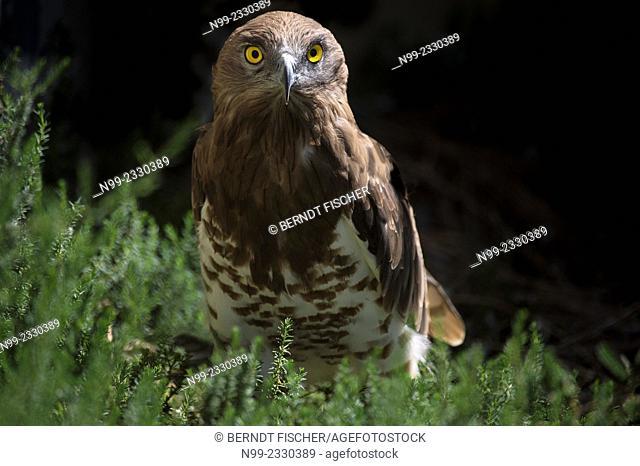 Short-toed eagle (Circaetus gallicus), France