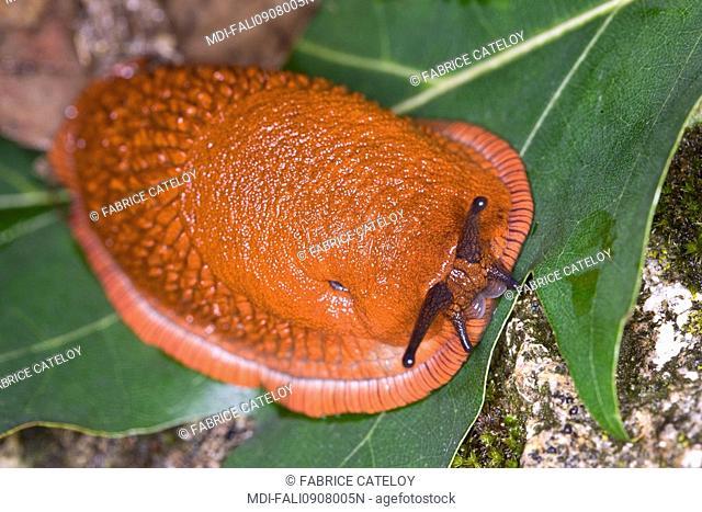 Slug on a leaf