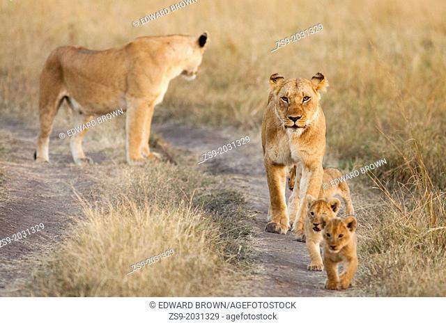 Lioness - Panthera leo and cubs, Masai Mara, Kenya, Africa