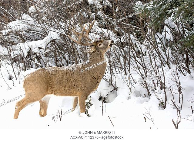 white-tailed deer, Odocoileus virginianus, buck