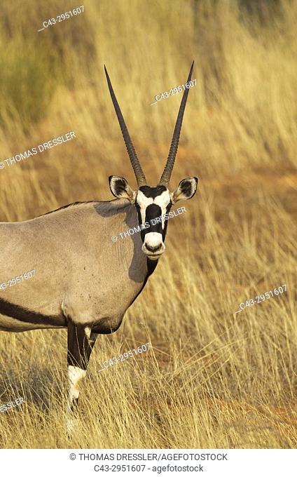 Gemsbok (Oryx gazella). Male. Kalahari Desert, Kgalagadi Transfrontier Park, South Africa