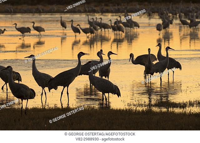 Sandhill crane silhouette on pond, Bernardo Wildlife Management Area, New Mexico
