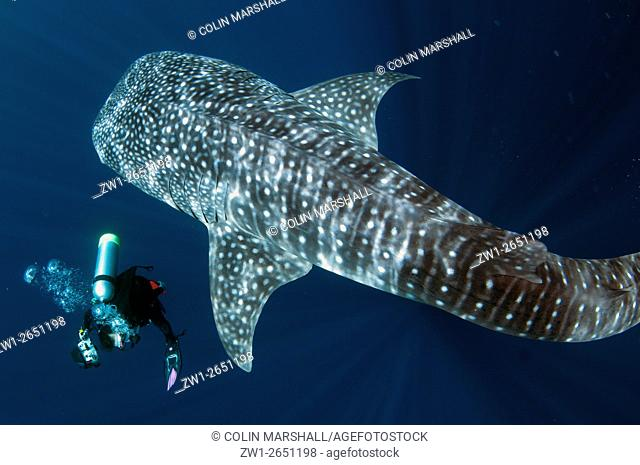 Whale Shark (Rhincodon typus) above diver with camera, Cenderawasih (Bird of Paradise) Bay, West Papua, Indonesia