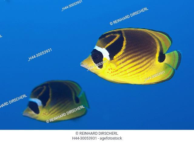 Pair of Racoon Butterflyfish, Chaetodon lunula, Christmas Island, Australia