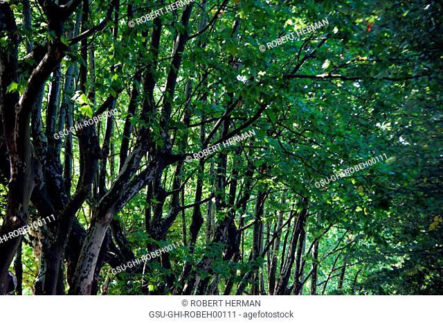Row of Trees, San Sebastian, Spain