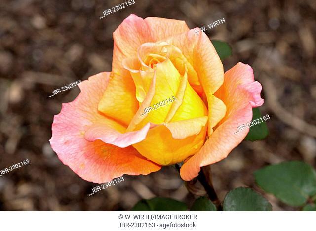Hybrid Tea Rose, Ambassador (Rosa), Westphalia Park, Dortmund, Ruhr Area, North Rhine-Westphalia, Germany, Europe