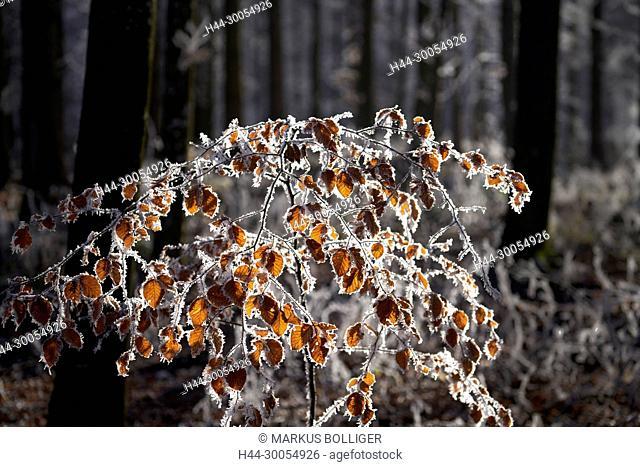 Wood, Emmental, frost, tree, beech, white frost, hoarfrost, hoarfrost, cold, Jung's beech, Fagus sylvatica, winter, light, back light, ice needles