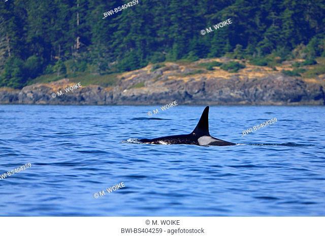 orca, great killer whale, grampus (Orcinus orca), swimming male, Canada, Victoria, Haro Strait