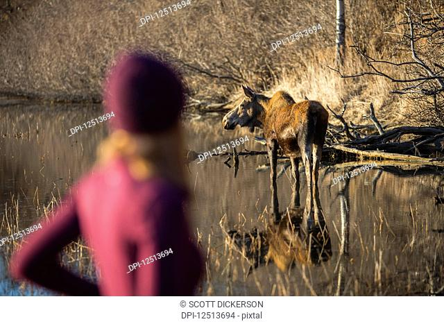 A young woman blurred in the foreground as she stands watching a cow moose (alces alces) in the pond nearby; Anchorage, Alaska, United States of America