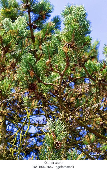 mountain pine, mugo pine (Pinus uncinata, Pinus mugo uncinata, Pinus mugo rostrata), branch with cone