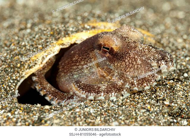 Coconut octopus, veined octopus (Amphioctopus marginatus), hiding itself under a single sea shells