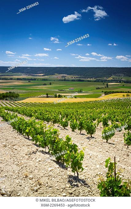 Vineyard. Olivares de Duero village. Ribera de Duero Wine region. Valladolid. Castile and Leon. Spain, Europe