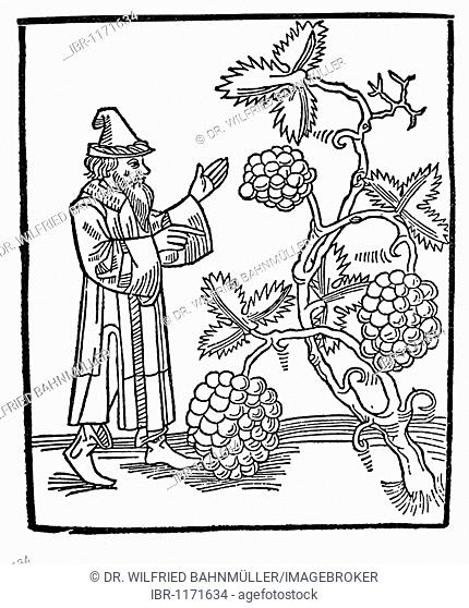 Jewish man in front of wine grapes in the promised land, wood carving from medieval times