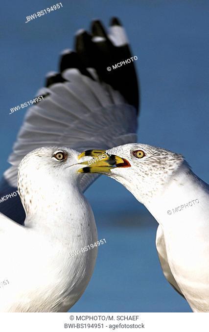 ring-billed gull (Larus delawarensis), two fighting individuals, USA, Florida