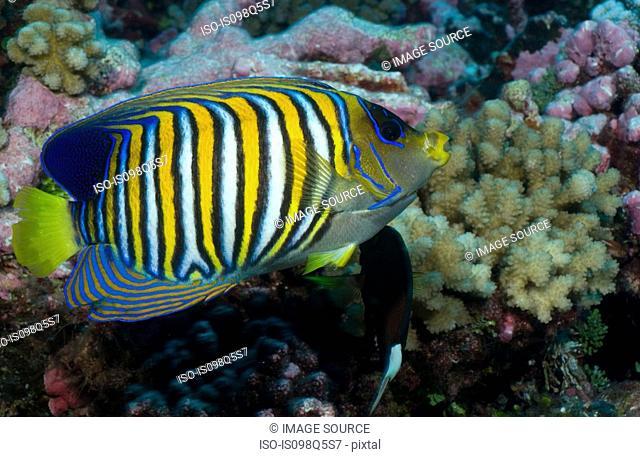Close-up of Regal angelfish