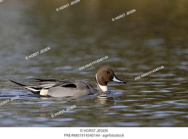 Male Northern Pintail on a lake, Anas acuta, Germany, Europe / Spiessente auf See, Anas acuta, Deutschland, Europa